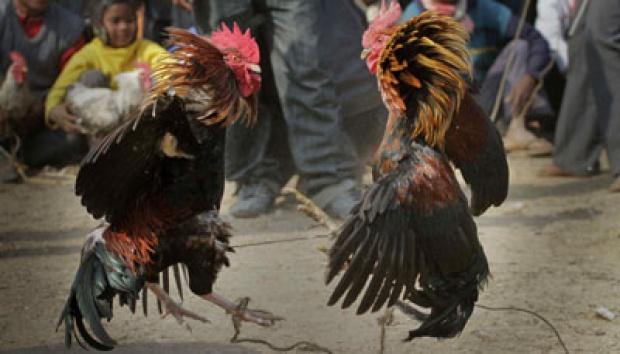 Lomba Tinju Ayam Digelar di Makassar, Begini Mekanismenya