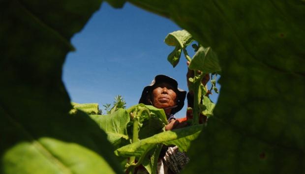 Petani memilih daun tembakau saat panen di Desa Dampit, Kecamatan Cicalengka, Kabupaten Bandung, Jawa Barat, 23 Agustus 2016. TEMPO/Prima Mulia