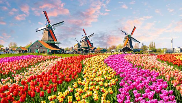The Netherlands' Famous Tulip Bloom Can Be Viewed Virtually ...