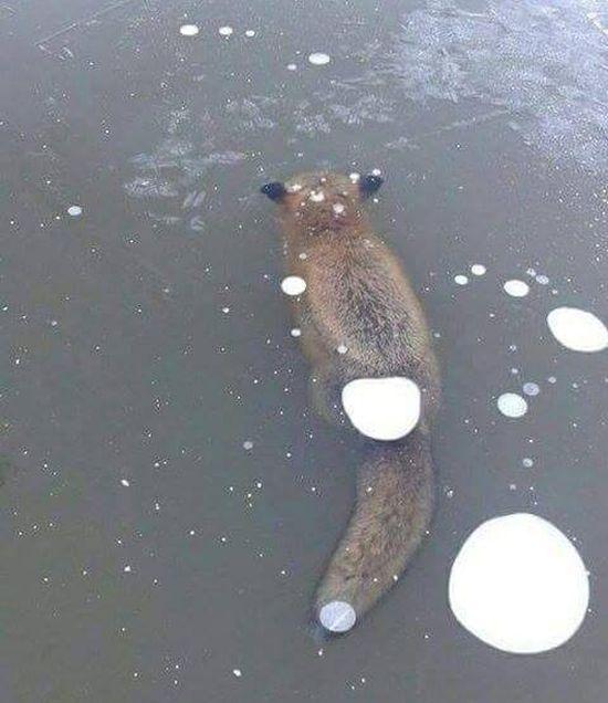 Buz İçinde Kalan Tilki (2 Fotograf)
