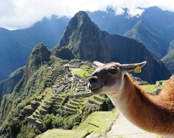 photo of a llama in front of the Inca ruins