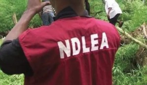 NDLEA arrests 65, confiscates 4,58.57 kg of narcotic drugs in Edo