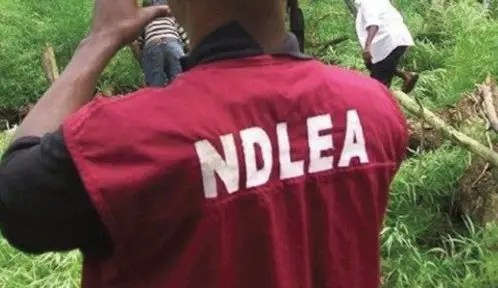 Indian hemp cultivated in 11 Plateau LGAs – NDLEA