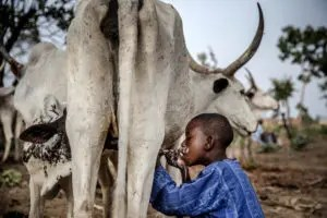 Miyetti Allah boasts of enough cows, pastoralists to meet milk demand
