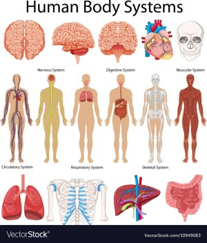 Diagram showing human body systems Royalty Free Vector Image