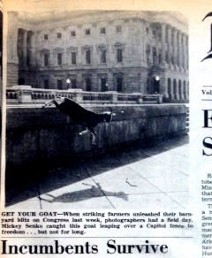One of the offending protestors (a goat) leaps over a fence at the Capitol.