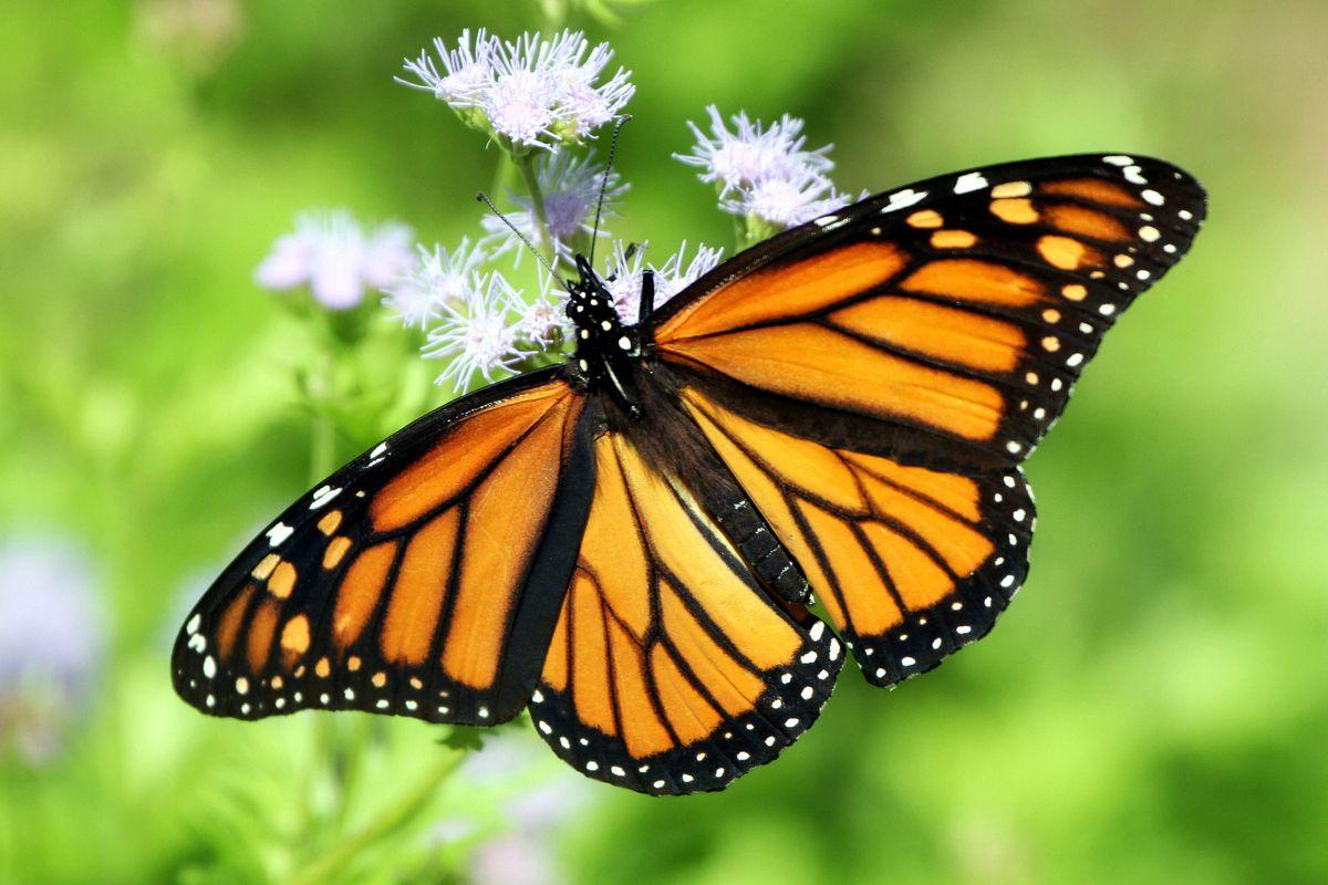 Monarch Butterflies Could Be Declared An Endangered