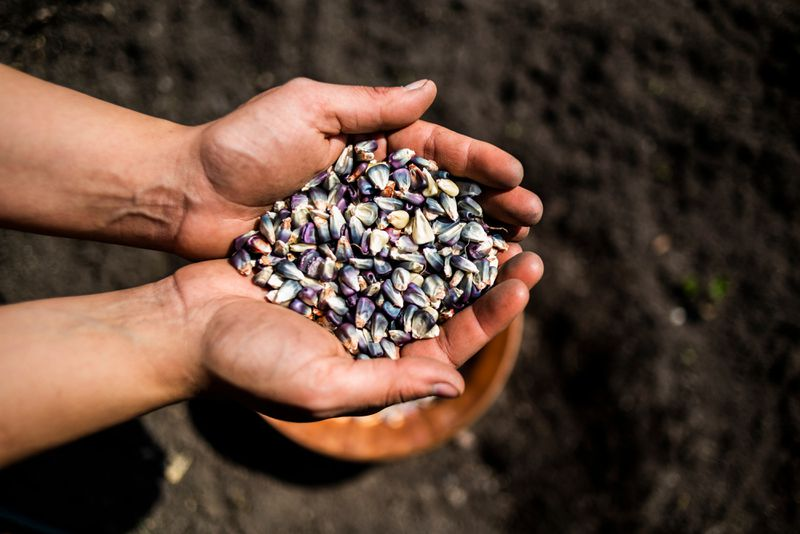 Cupped hands hold a pile of blue corn over a plot of dirt
