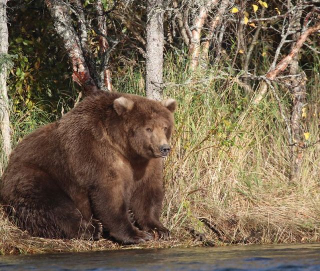 Katmai National Parks Bear 409 Aka Beadnose Won The 2018 Competition For Fattest Bear According To The Park When She Is Not Raising Cubs