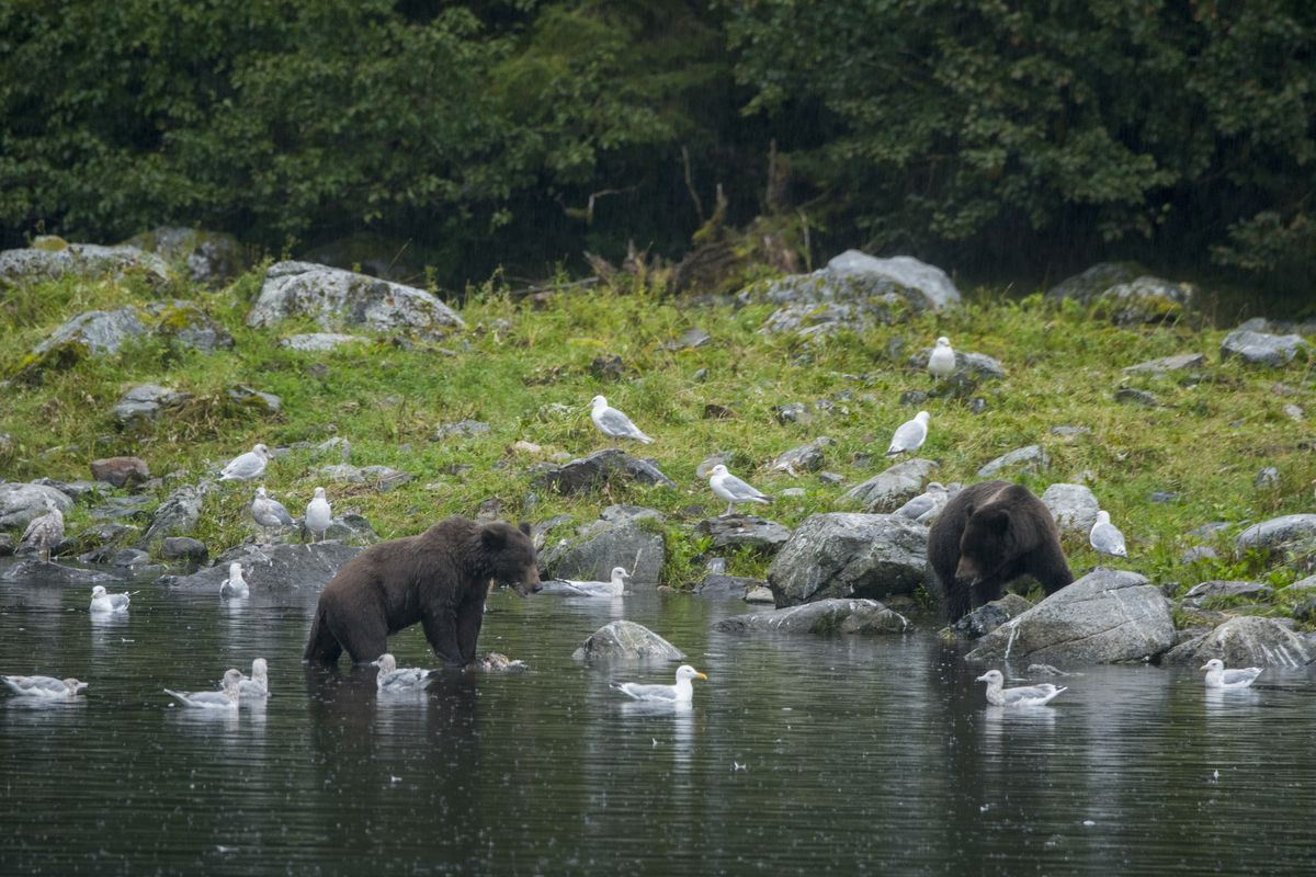 Brown bears are fishing for salmon at Hidden Falls Hidden...
