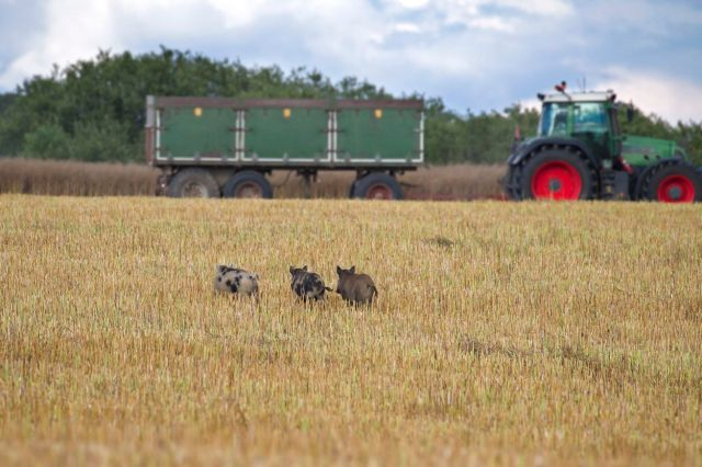 Tractor and feral pigs with wild boar fleeing through stubble field in summer.