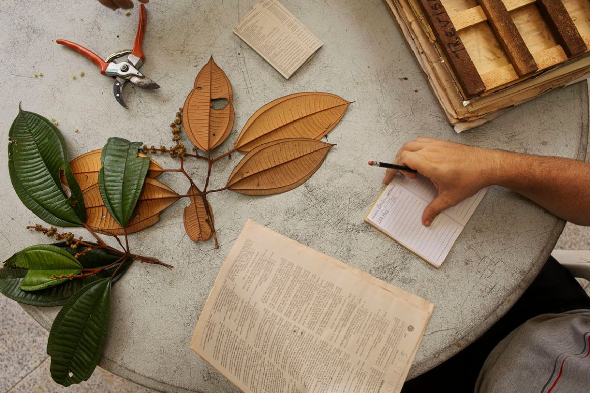 Scientists examine leaves collected from trees in the Amazon rainforest.
