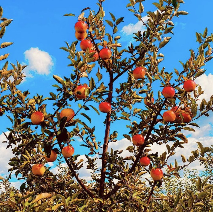 Trees in the orchard with apples on them