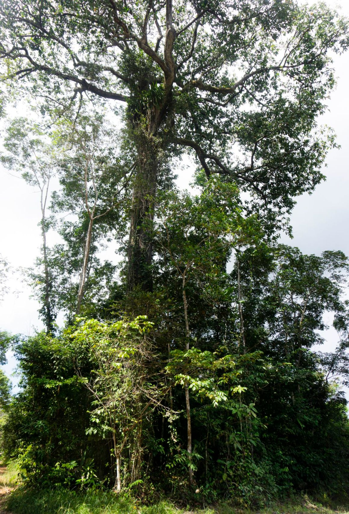 A Brazil nut tree, Bertholletia excelsa, in the Amazon rainforest.