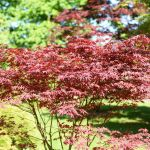 Everything You Need To Know About Bloodgood Japanese Maple Trees This Old House