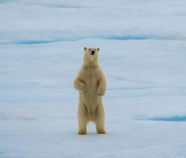 A Polar Bear Staring At The Us Coast Guard Cutter Healy Photo By Jennifer Stern Uw The Hidden Ocean 2016 Chukchi Borderlands