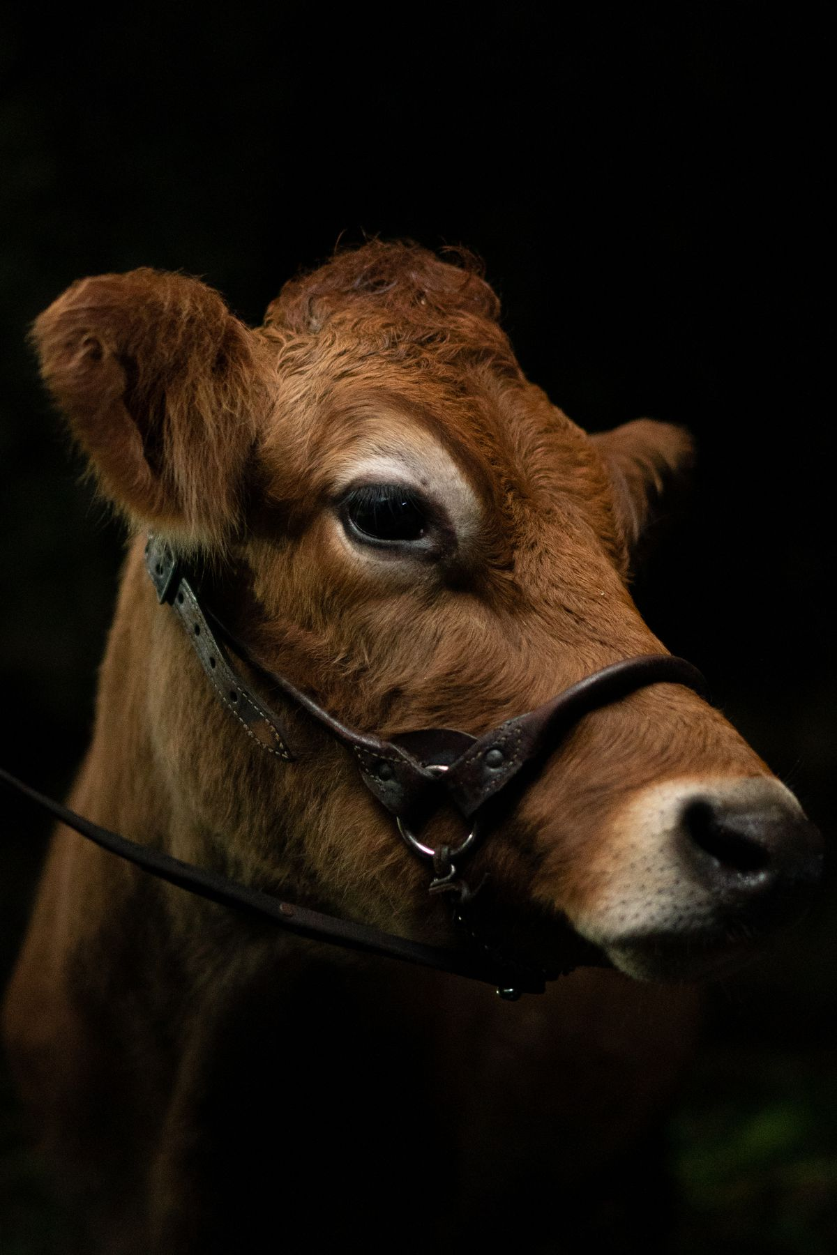 a close-up of a lovely brown Jersey cow