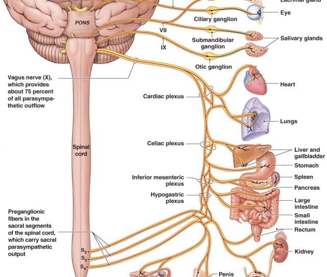 The Vagus Nerve Which Conducts Sensation From The Vagina And Cervix And Runs Outside The Spinal Cord Might Also Contribute To Orgasms
