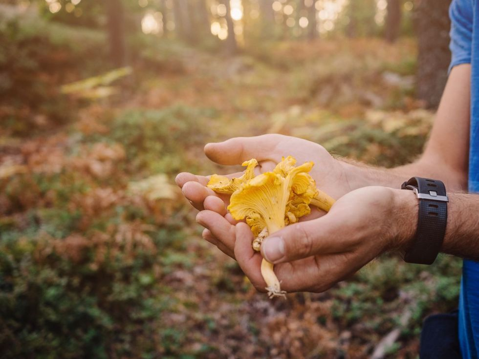 Two hands holding out chanterelle mushrooms with the forest as a backdrop.