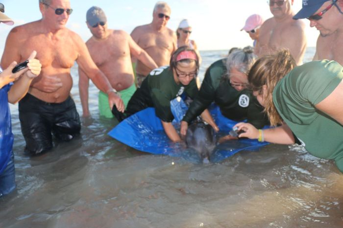 Rescuers found a baby dolphin in distress in Fort Myers, Florida. After the animal was euthanized, officials found two plastic bags and a piece of a balloon in its stomach.