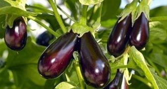 Баклажаны выращивание и уход в теплице из поликарбоната