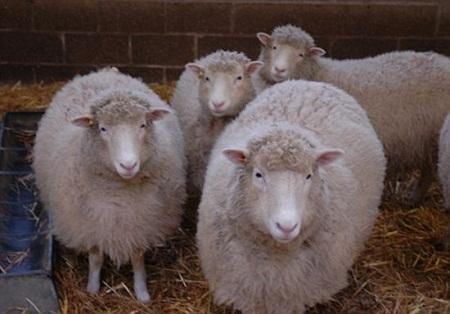 Oveja Dolly fue clonada de nuevo Oveja Dolly fue clonada de nuevo