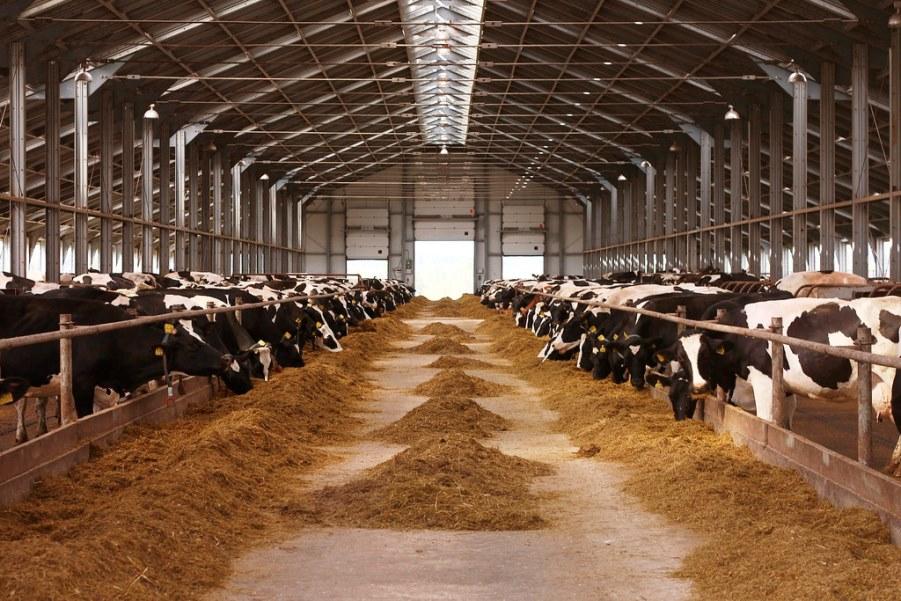 Científica mexicana estudia en Holanda mutación en vacas que favorece a ganaderos - cientifica-mexicana-estudia-mutacion-en-vacas