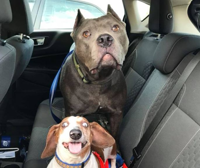 Blind Dachshund And Pit Bull Who Acts As His Guide Dog