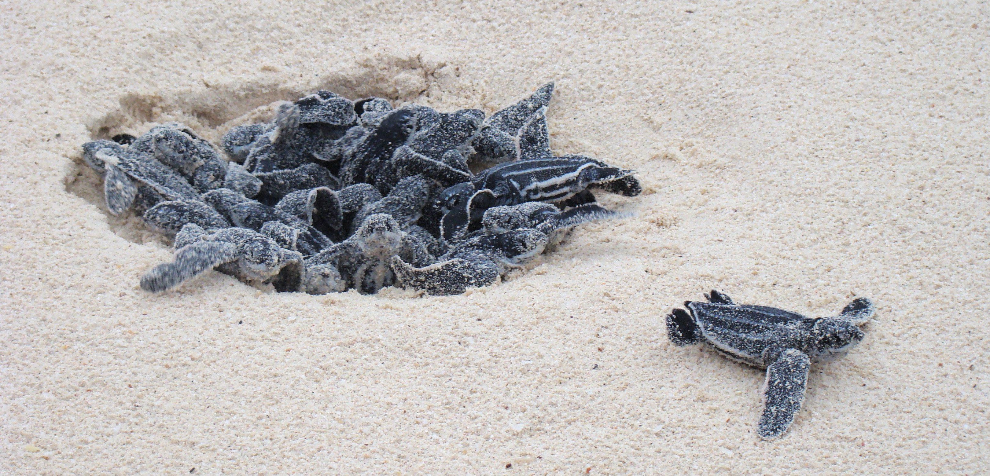 Florida Updates Sea Turtle Nesting Totals For