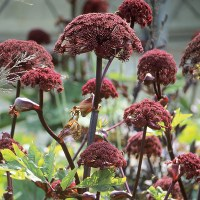 Angelica gigas plants from Woolmans