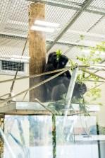 Orana Wildlife Park - Gorilla
