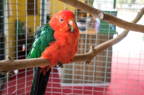 Orana Wildlife Park - Papagai