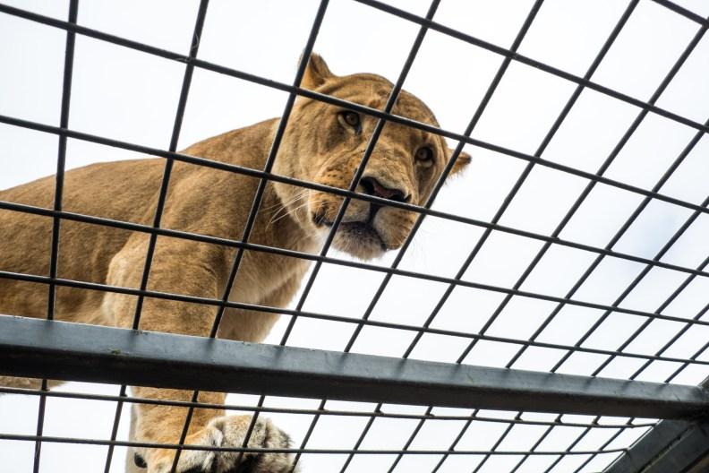 Orana Wildlife Park - Lion Encounter