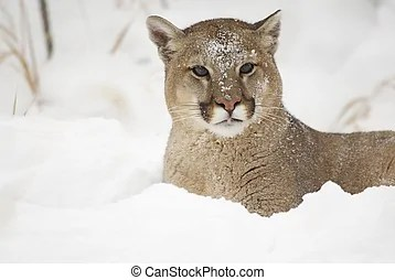 Cougar Images and Stock Photos. 2,785 Cougar photography ...