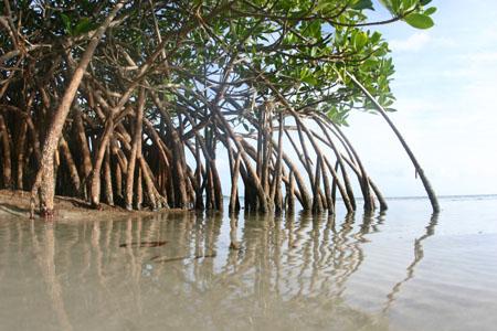 https://i1.wp.com/cdn.zmescience.com/wp-content/uploads/2008/07/mangrove0459sm.jpg
