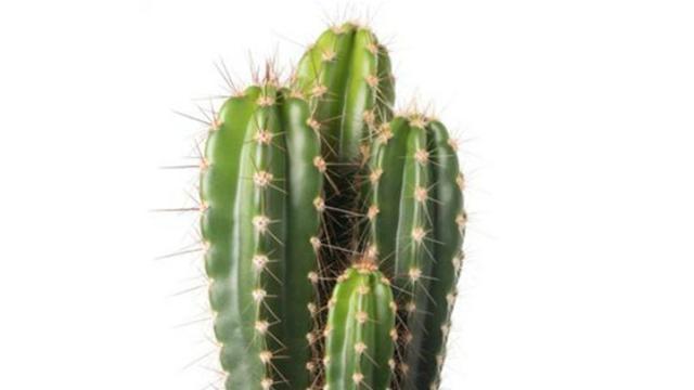 Kaktus untuk melembabkan (hidrasi) kulit.