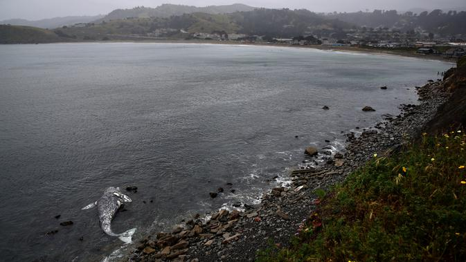 Bangkai paus abu-abu mati terdampar di pantai dekat Pacifica State Beach, Pacifica, California (14/5/2019). Peneliti belum dapat menentukan berapa lama bangkai paus itu terdampar. (AFP Photo/Justin Sullivan)