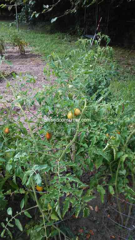 15 Jack Seeds Tomato Seeds Reviews and Complaints @ Pissed ...
