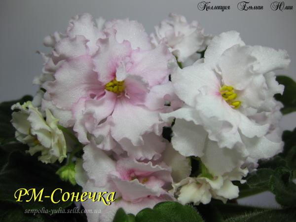 Фиалка РМ-Сонечка (пара листьев): цена, описание, продажа ...