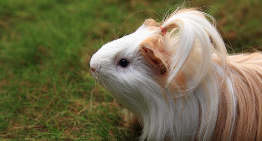 Silkie Guinea Pigs 9 Great Hairdos That Youll Be Jealous Of