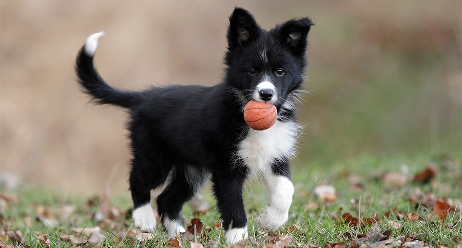 Border Hair Breed Short Collie