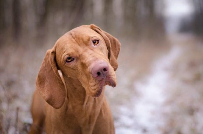 Head of vizsla dog