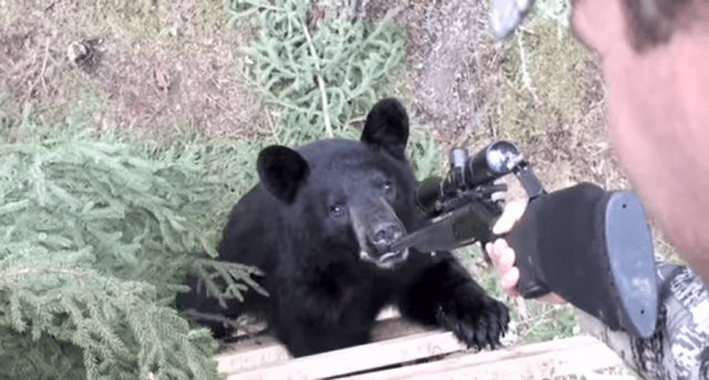 A Curious Black Bear Chewing On Hunters Rifle Is Either Awesome Or Terrifying