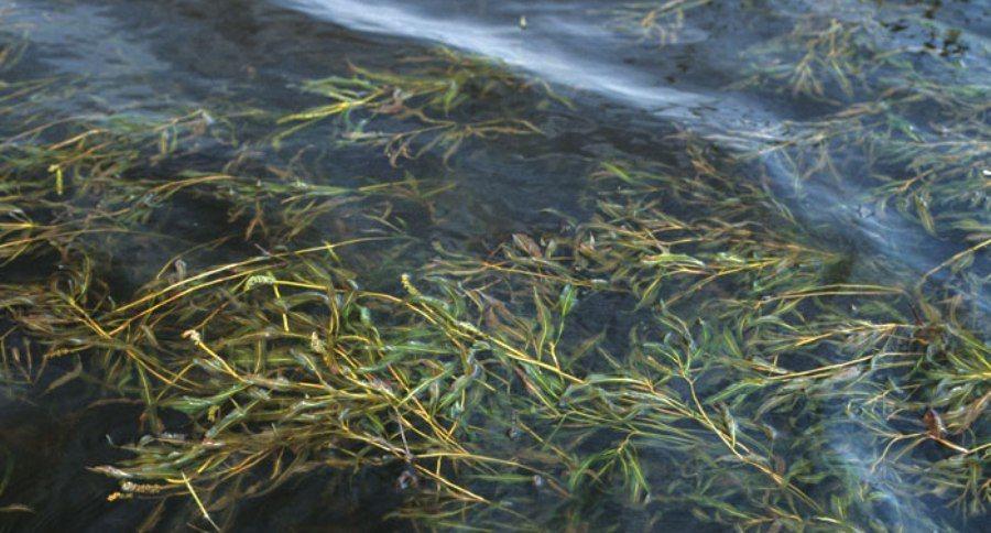 Weeds Aquatic Ponds