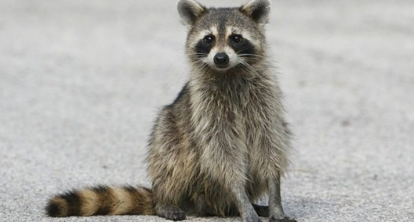 Cases of Raccoons Spreading Disease to Dogs on the Rise