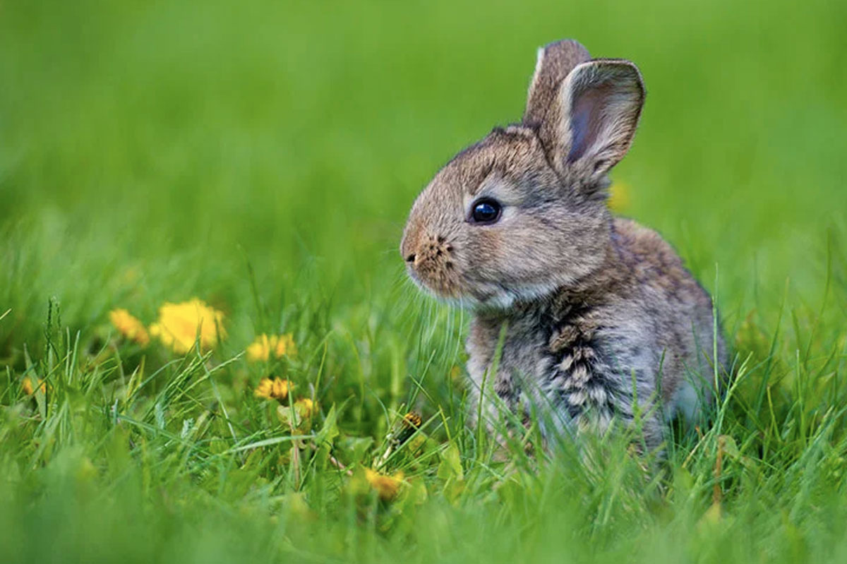 What To Do If You Find A Baby Rabbit In Your Yard