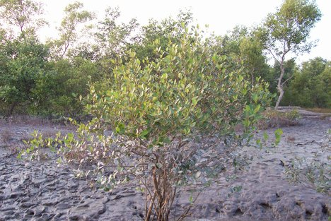 MANGROVE-TREE