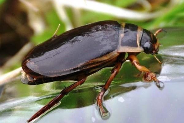 Откуда в бассейне берутся жуки-плавунцы?