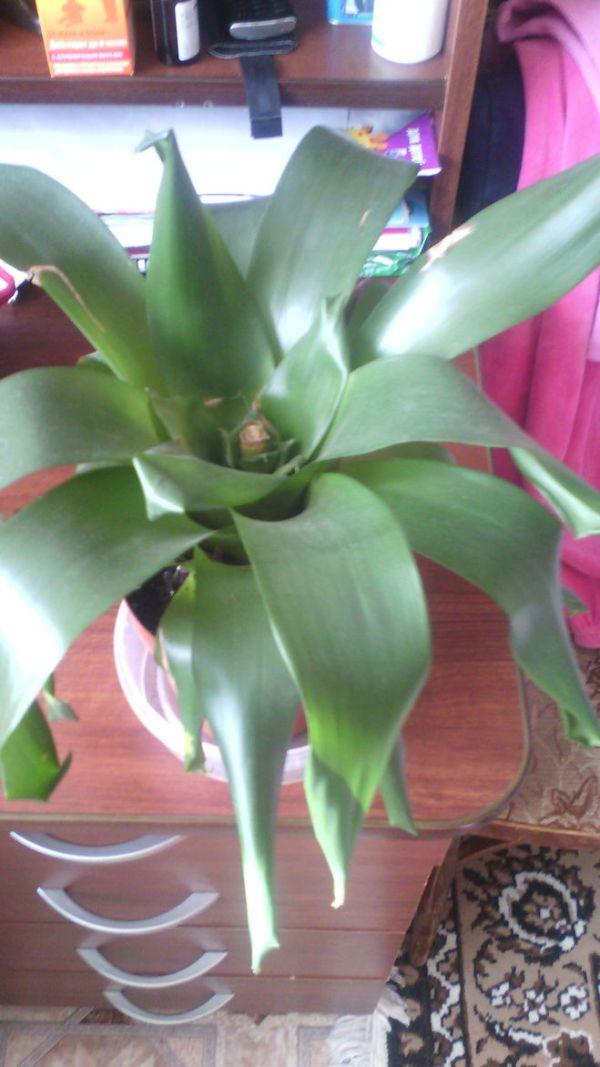 Что за цветок на фото с длинными узкими листьями, как ...