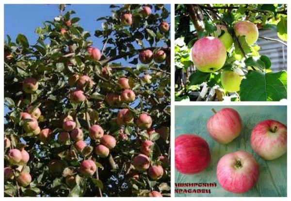 Сорт яблони Башкирский Красавец-описание фото и отзывы?